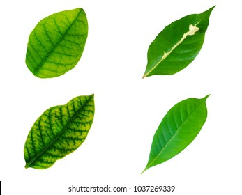 Collection bright green leaves isolated on white background in Clipping Path
