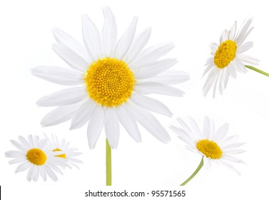 collection of chamomile flowers isolated on white background