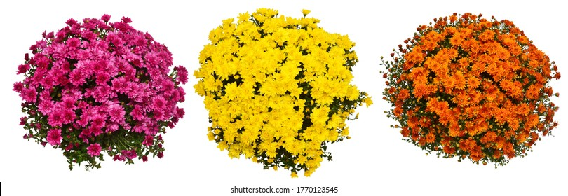 Collection chrysanthemum multiflora flowers orange, yellow and pink in pot isolated on white background. Flat lay, top view