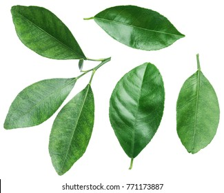 Collection of citrus leaves on white background.