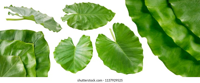 Collection of colocasia esculenta leaves isolated on white background