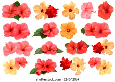 Collection of colored hibiscus flowers with leaves isolated on white background. Flat lay, top view. Creative card.