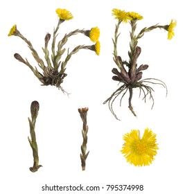 Collection of coltsfoot, Tussilago farfara isolated on white background