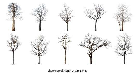 Collection of dead tree,dry tree, isolated on white background.