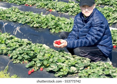 Collection of early strawberries.  Boy in a jacket holding a handful of ripe berries