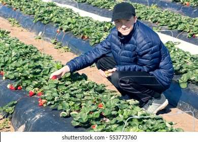 Collection of early strawberries. A child dressed warmly picks ripe berries against the background of the beds.