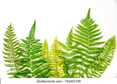 A collection of fern, design as a frame on white background. They are sword fern,wild fern,blue fern. set up in studio, can be use for foreground or background.