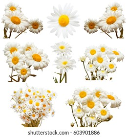 Collection of flowers white daisy isolated on white background. Spring. Flat lay, top view. Love. Valentine's Day. Easter