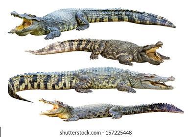 Collection of freshwater crocodile isolated on white background.