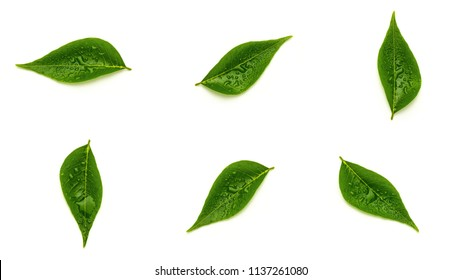 collection of a green leaves with drops water isolated on a white background.