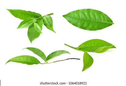 collection green tea leaf isolated on white background