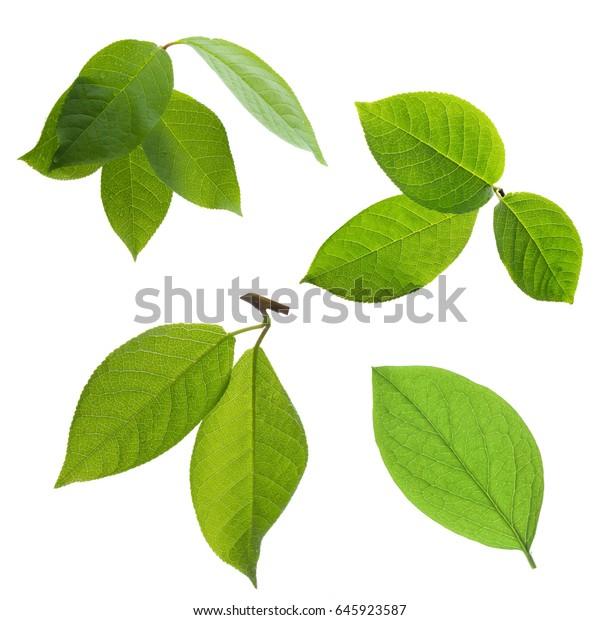 Sammlung grüner Baumblätter einzeln auf weißem Hintergrund