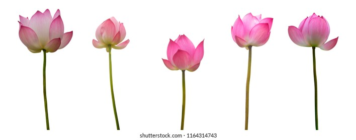 Collection of Isolated pink lotus on a white background , A beautiful pink lotus from Thailand