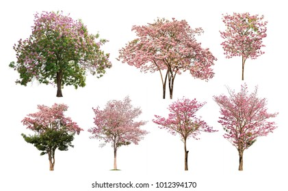Collection of isolated Tabebuia rosea tree with pink flower on white background