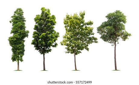Collection of isolated tall trees on white background