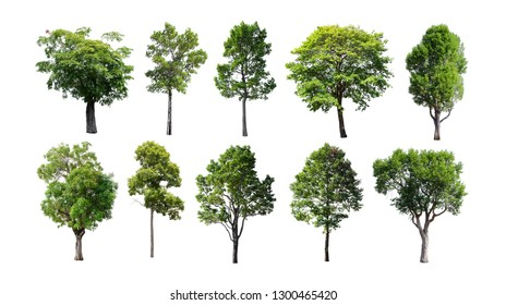 Collection of Isolated Trees on white background. A beautiful trees from Thailand. Suitable for use in architectural design or Decoration work. Used with natural articles both on print and website.