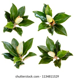 Collection of magnolia flower bud views, isolated on white.  Freshly cut after rain, with raindrops. Evergreen variety.