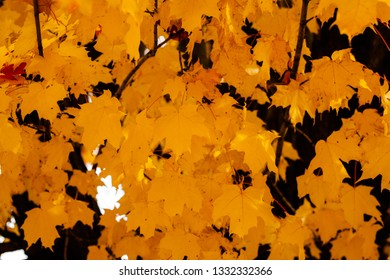 Collection of Maple Leaves on the Tree