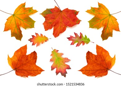 Collection of maple and oak leaves isolated on white background. Autumn, yellow and red leaf. Top view, flat lay