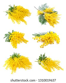Collection of mimosa flowers isolated on white backgrounds. Spring  yellow flowers.