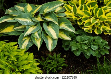 A collection of miniature to small hostas growing in a garden in Barry Co., Michigan.