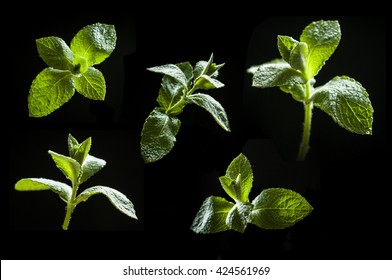 collection of mint leaves isolated on black background. studio close-up.