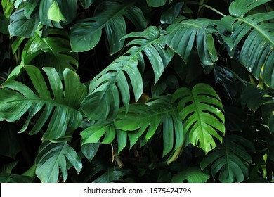 a collection of monstera leaves or plants that grow wild in tropical forests