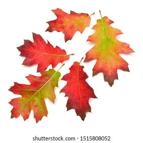 Collection of oak autumn falling leaves isolated on white background. Red, green and yellow leaf. Top view, flat lay