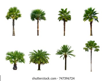Collection of Palm tree isolated on white background for park or garden decoration, Set eight of ornamental plants