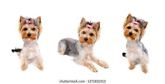 Collection of photos beautiful funny puppy yorkshire terrier with bow isolated on a white closeup