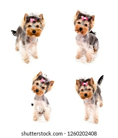 Collection of photos beautiful puppy yorkshire terrier with bow isolated on a white  closeup