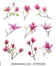 collection of pink magnolia flowers isolated on white background
