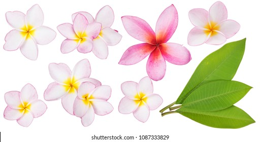 Collection of Pink Plumeria or Frangipani flowers and green leaves with clipping path. Closeup of Plumeria flower blooming and leaf isolated on white background (Hawaiian Lei, Hawaii, Leis, Bali, Spa)
