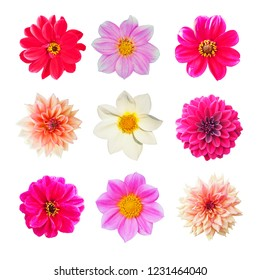 Collection of pink, yellow and white flowers of dahlia isolated on white background. Garden plants, Asteraceae or Compositae, octoploids. Dahlia was declared the national flower of Mexico