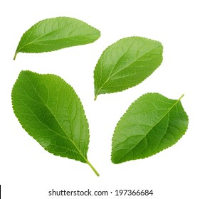 Collection of plum leaves isolated on white