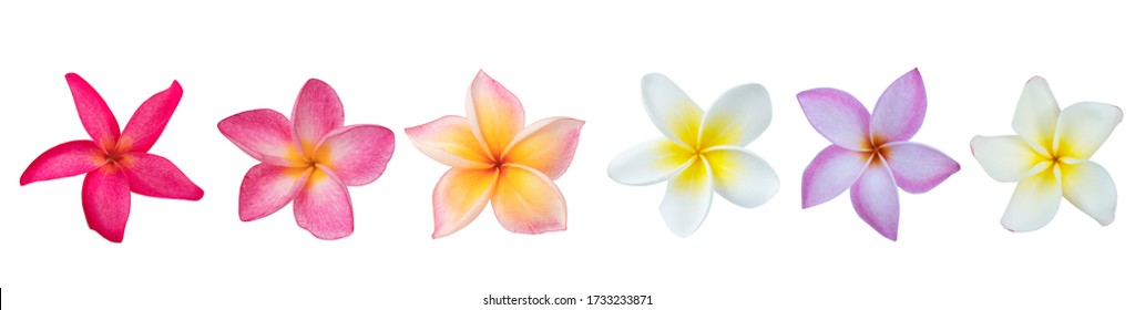 Collection of  Plumeria isolated on white background. Nature pattern of blossoming color exotic Frangipani flower, Close up of Plumeria or Frangipani