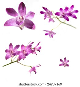 Collection of Purple Dendrobium orchids isolated on white background