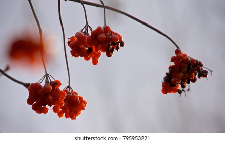 A collection of red berries hanging from a tree branch against a cold winter sky