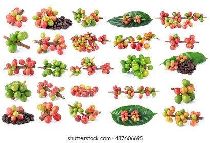 Collection of Red coffee beans on a branch of coffee tree, ripe and unripe berries isolated on white background