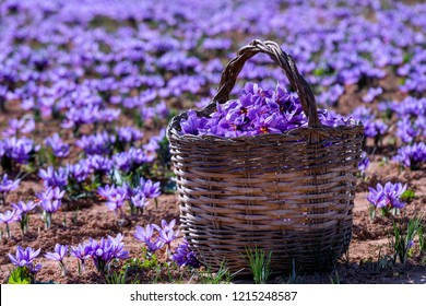 Collection of saffron, with a wicker basket