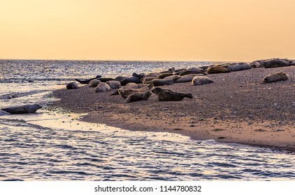 A collection of seals at their breeding ground at Blakeney Point, Norfolk