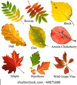 collection set of beautiful colored autumn leaves with name, close up , isolated on white background