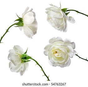 Collection set of beautiful white roses isolated on a white background