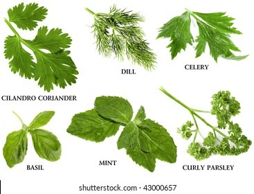 Collection set of fresh herbs and names, isolated on white background