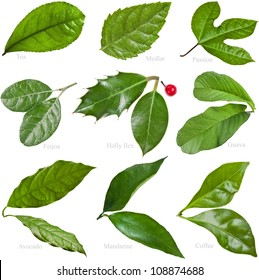 Collection set of Green Fresh Leaves of Fruit Tree closeup macro isolated on white background