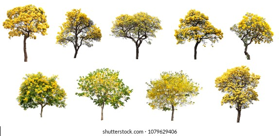 The collection set of isolated golden yellow cortez flower blossom trees on white background for spring and summer season design