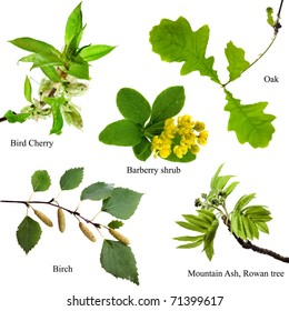 Collection set of spring tree branches : Bird Cherry, Barberry shrub, Oak, Birch, Mountain Ash Rowan,  Isolated on white background