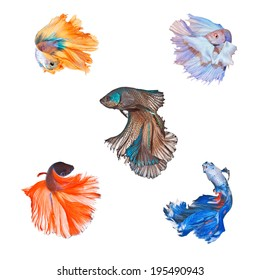 Collection of Siamese fighting fish