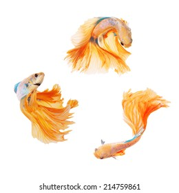 Collection of siamese fighting fish, betta splendens, yellow dragon betta female isolated on white background