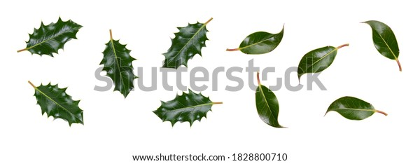 A collection of smooth and spiky green holly leaves for Christmas decoration isolated against a white background.